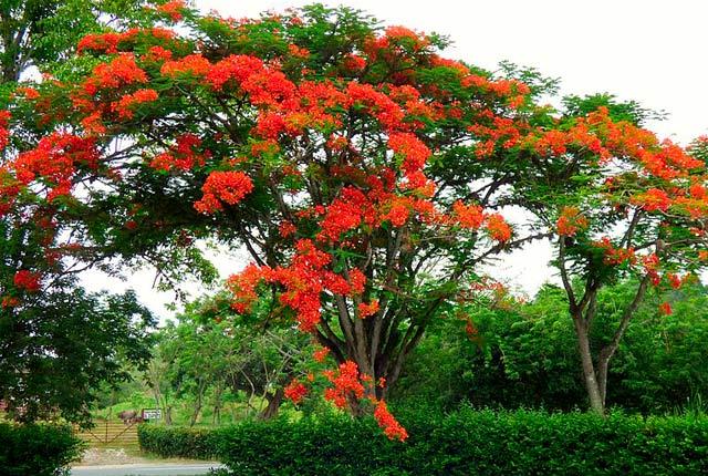 imagen árboles ornamentales