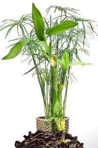Bambusa Vulgaris ó Bambú