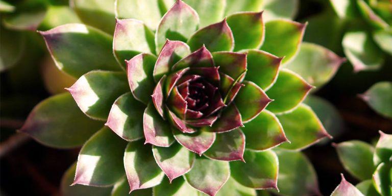 cactus crasas