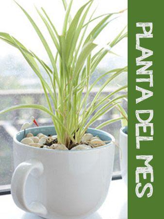 planta del mes Clorophytum