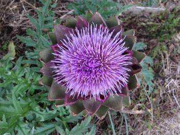 artichaut-fleur-eh-couv