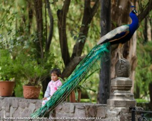 Peacocks-25