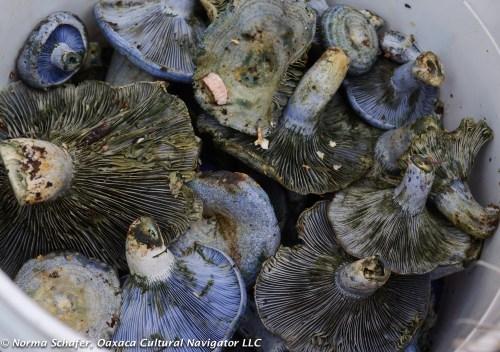 Wild Blue Hongos from Estado de Mexico
