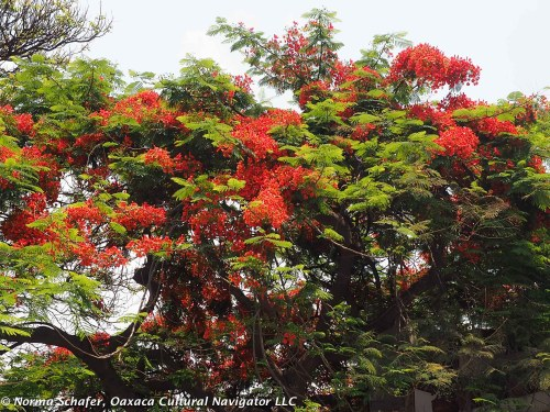 Framboyan tree in full bloom, Oaxaca in May