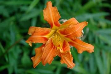 茨城町で見かけたヤブカンゾウの花。ピントが来ていません・・・