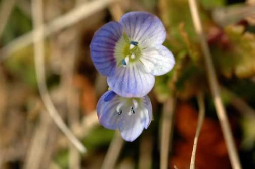 オオイヌノフグリ 3月 水戸市大場町の花