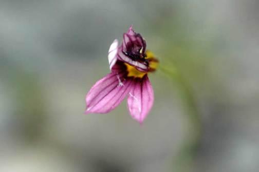 5月9日 たった一つだけ、今年初めて見つけたニワゼキショウ でも踏んづけられてくしゃくしゃになってます あたりには全く咲いていませんでした