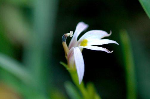 ミゾカクシ(アゼムシロ)の花