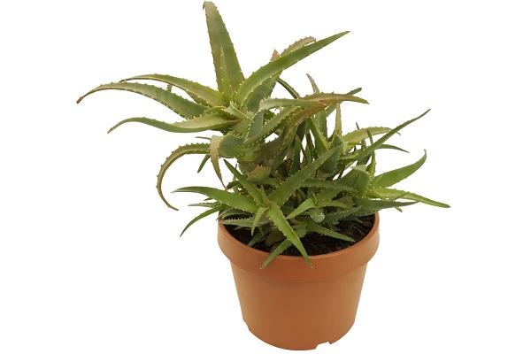 Aloe di Gord.