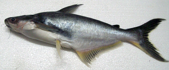 commons.wikimedia.org/wiki/File:Pangasius_bocourti.jpg