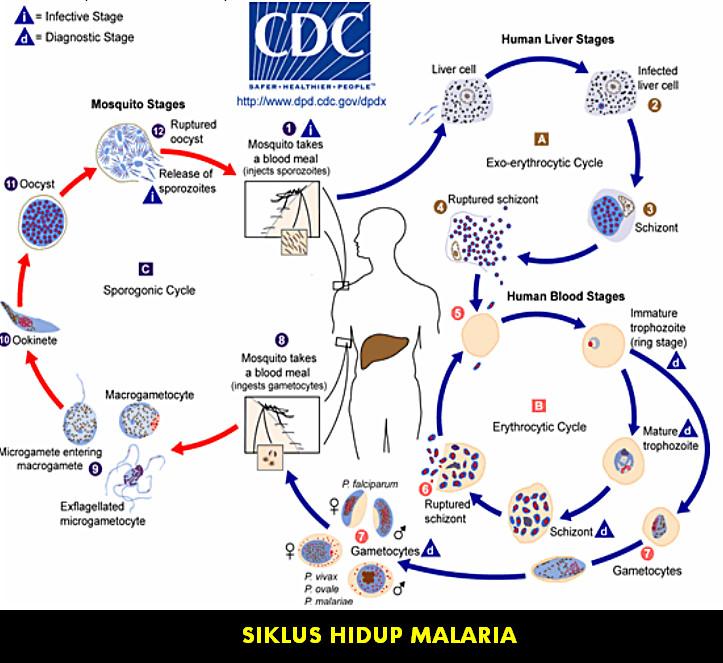 Pengobatan Penyakit Malaria