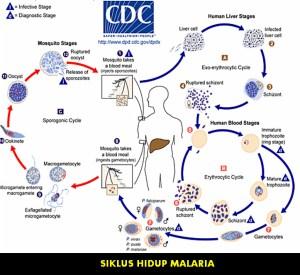 Pengobatan Penyakit Malaria secara Alami