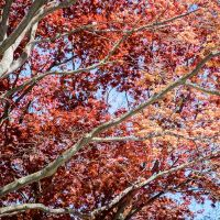 Flame Trees of Brown