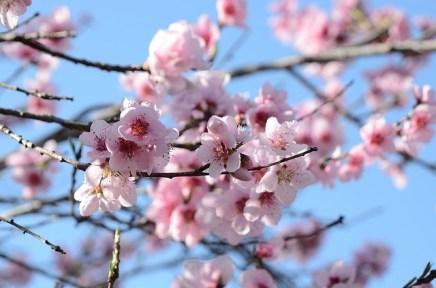 桃の節句桃の花の意味