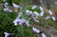 Lots of petunias over the rockery