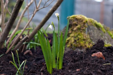 Also have some snow drops peeking out