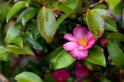 The camellia is in full bloom