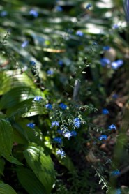 Forget Me Nots. Love these little beauties :)