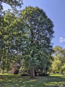 Tappan Sq cypress tree