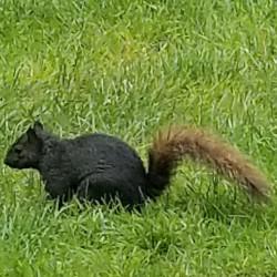 Black squirrel seen near Oberlin