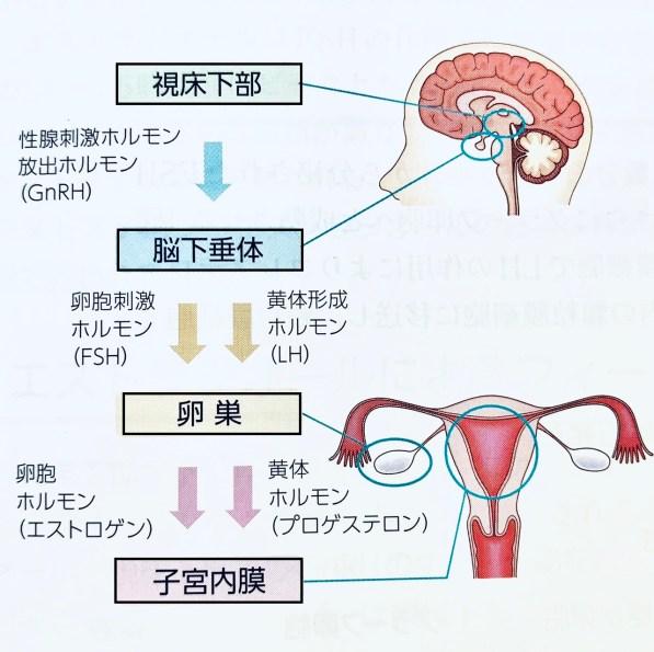 ホルモン 黄体 化