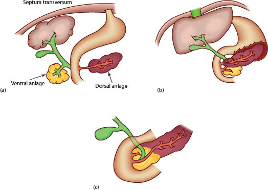 Development of the liver and pancreas | Obgyn Key