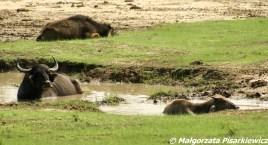 bawoły indyjskie (Wild Water Buffalo)