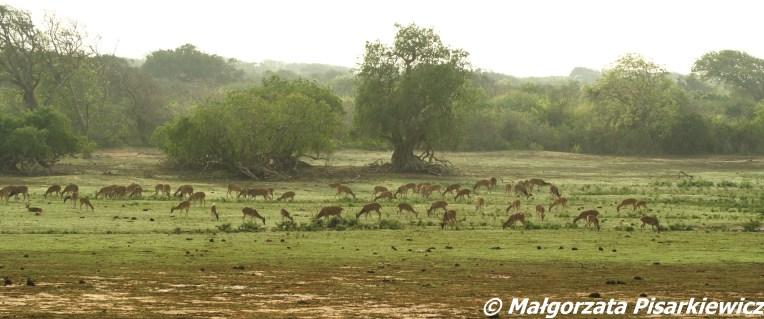 Jeleń aksis czytal (spotted deer_chital)