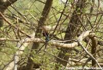 Łowiec krasnodzioby(White-throated Kingfisher)