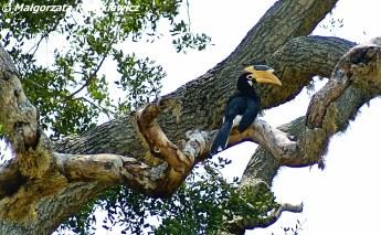 Dzioborożec(Malabar Pied Hornbill)