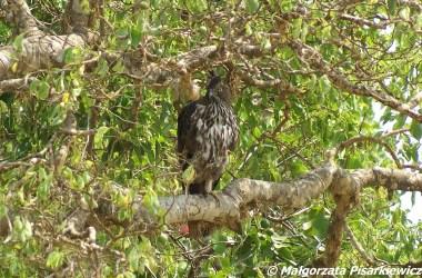 wojownik indyjski (Crested Hawk Eagle)
