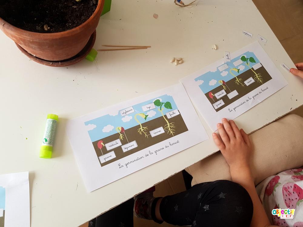 Pousse du haricot expérience activité autour de la graine IEF école à la maison Instruction en famille Objectif ief