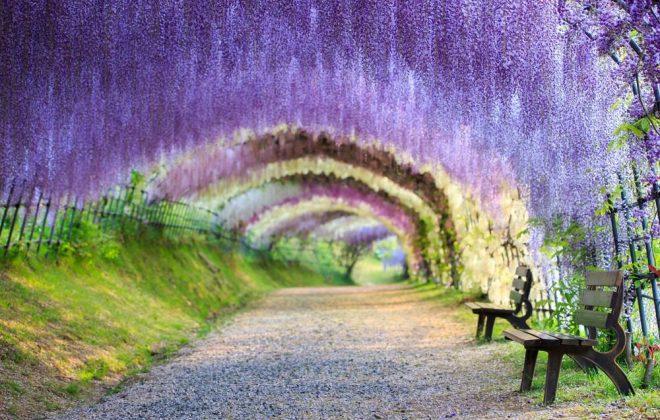 Wisteria Tunnel by DK Tazunoki