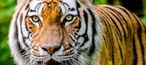 Motivation - oeil du tigre