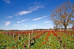 tulipa praecox st brice (52)_DxO