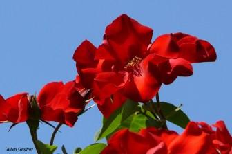 roses boissonat (365)