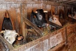 3 vaches à l'étable