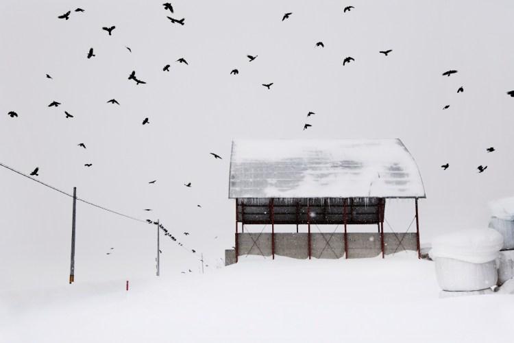 Les-corbeaux_-Hokkaidō_Japon_Christophe-Jacrot