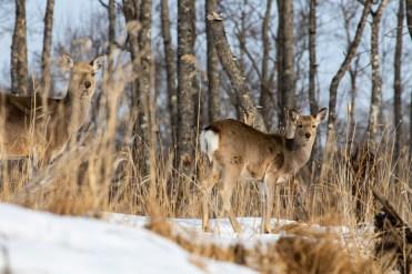 Deer_Kushiro National Park_Hokkaido_Japan_8