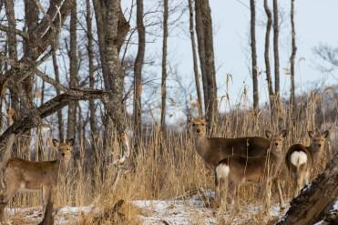 Deer_Kushiro National Park_Hokkaido_Japan_9
