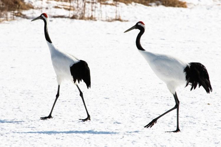 Grues japonaises_red_owned crane_Kushiro_Hokkaido_2