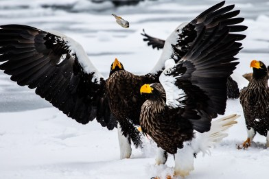 Rausu Hokkaido Japan winter steller sea eagle 10