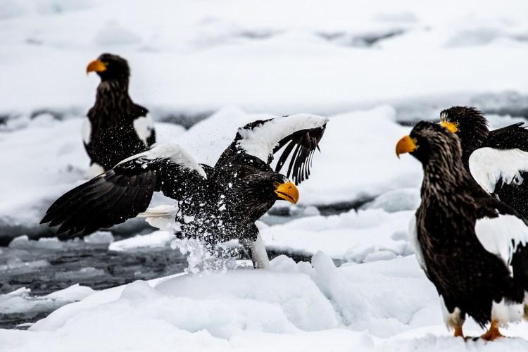Rausu Hokkaido Japan winter steller sea eagle 6