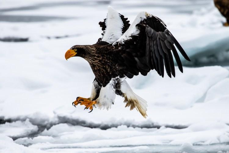 Rausu Hokkaido Japan winter steller sea eagle 8
