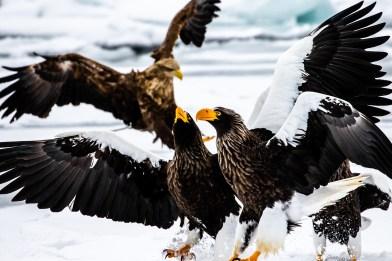Rausu Hokkaido Japan winter steller sea eagle 9