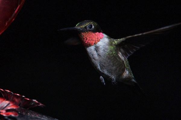 Maryland Biodiversity Project - Ruby-throated Hummingbird ...