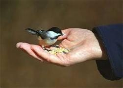 Dohle-bird-seed-web