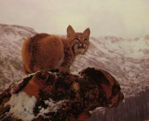 Lynx by Mark Stouffer