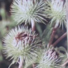 Cvjetovi čička (Snimio Ljubiša Grlić)