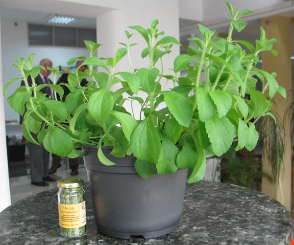Biljka stevija (Snimila Božica Brkan / Acumen)